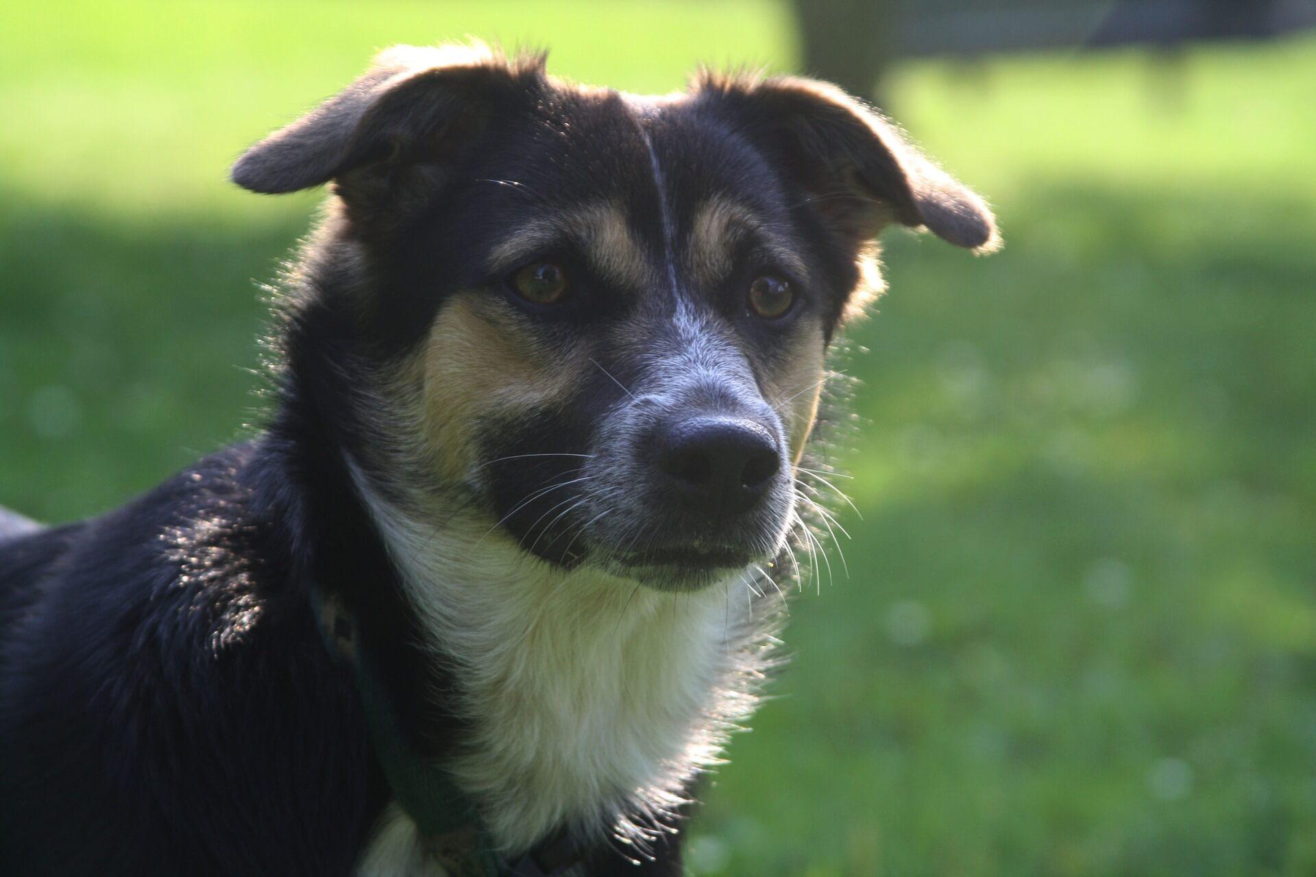 Hundeadfærd - Opmærksom hund til BAT træning