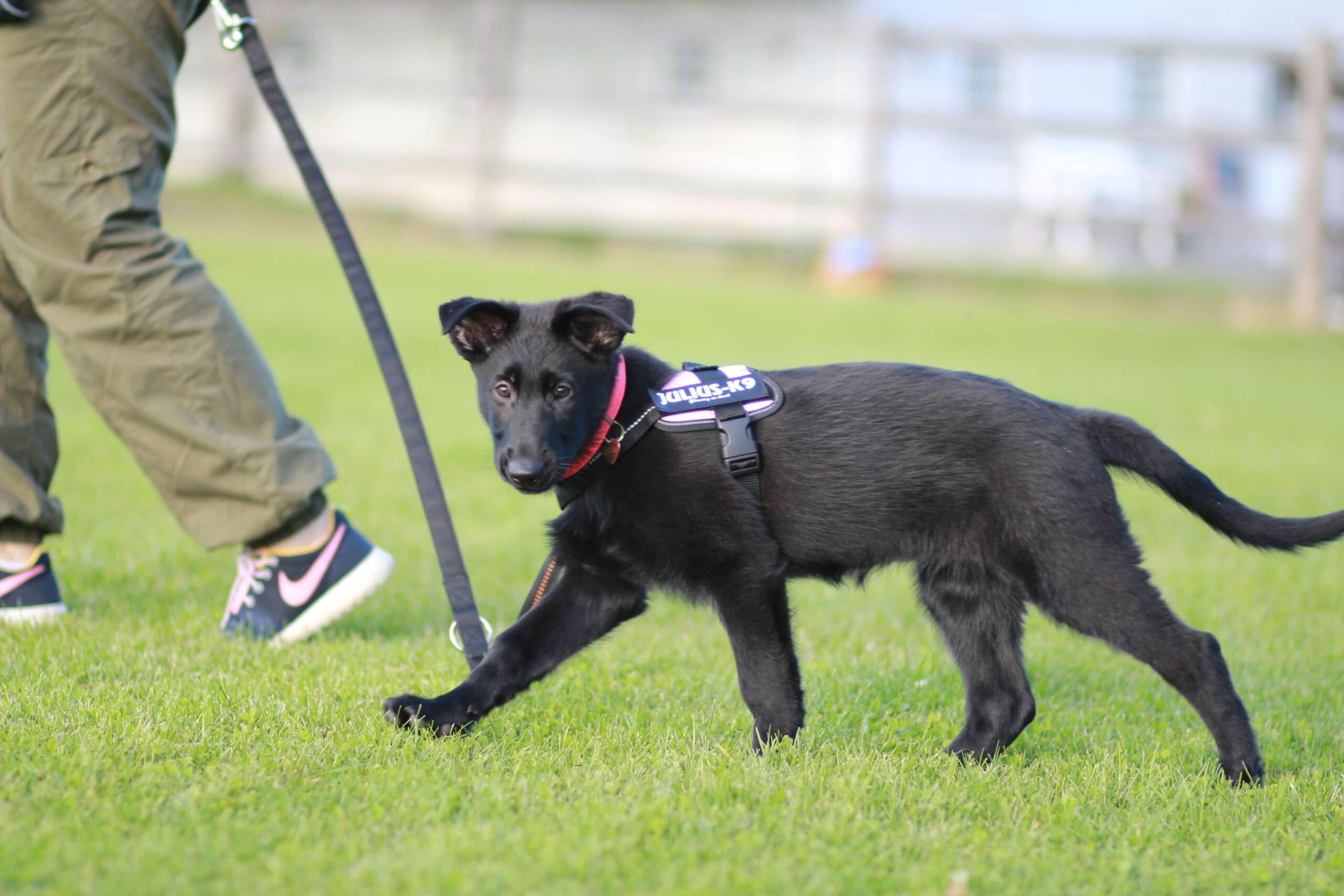 Lille sort hund til Hundetræning i Ringsted